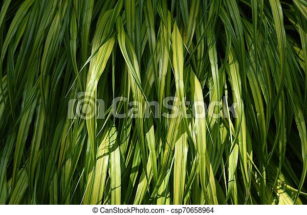 Hakonechloa macra (Hakone grass) - csp70658964