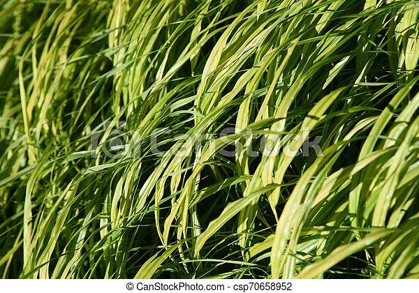 Hakonechloa macra (Hakone grass) - csp70658952