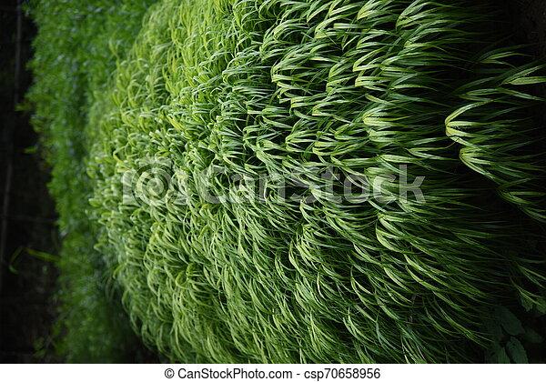 Hakonechloa macra (Hakone grass) - csp70658956