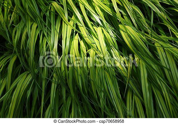 Hakonechloa macra (Hakone grass) - csp70658958