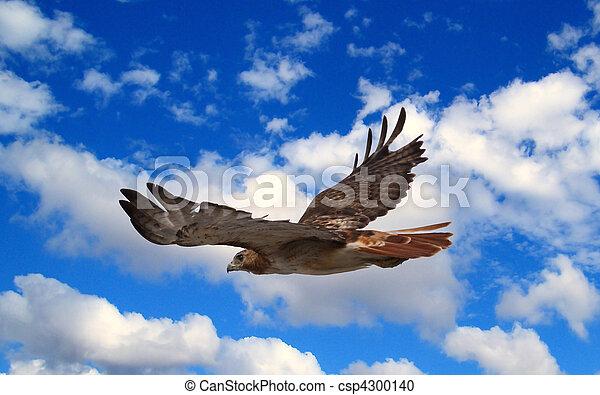 Hawk en vuelo - csp4300140
