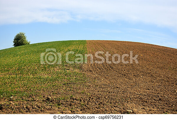 Half the field sown with grain and half ready for grain - csp69756231