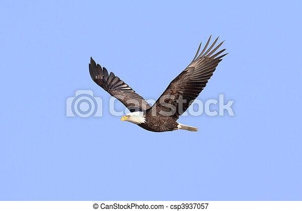 (haliaeetus, 鷹, 禿頭, 成人, leucocephalus) - csp3937057