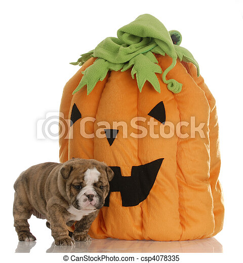 halloween puppy with pumpkin - csp4078335