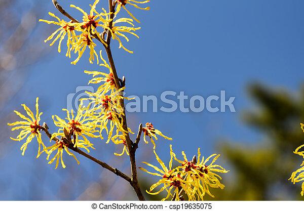 Hamamelis Japonica Flowering In Early Spring In Japan