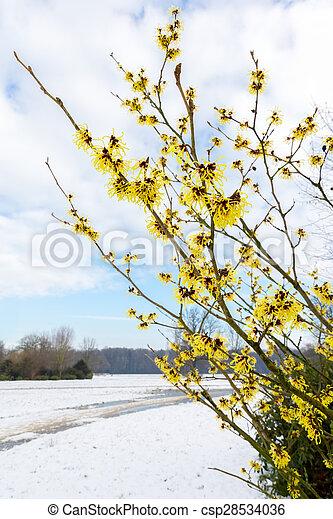 Hamamelis Mollis Yellow Flowers In Snow Landscape During Winter