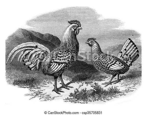 Line Art Rooster : Hamburg chicken and silver rooster vintage engraving . drawings