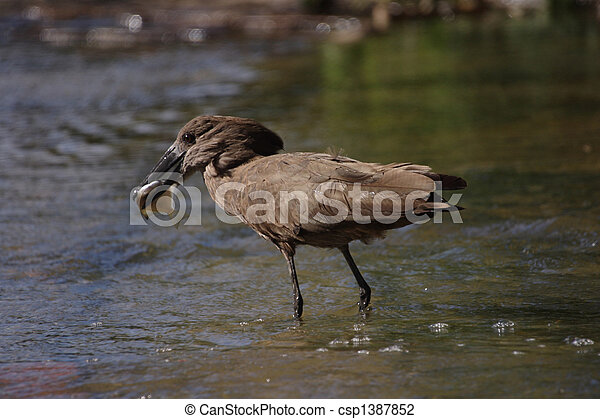 Hamerkop Catch of the Day - csp1387852