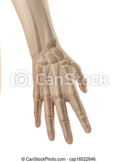 3d Illustration Of The Hand Anatomy Bones Of Hand And Fingers