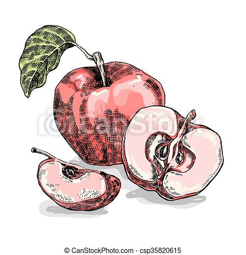 Hand drawn apple. Vector illustration. Sketch style - csp35820615