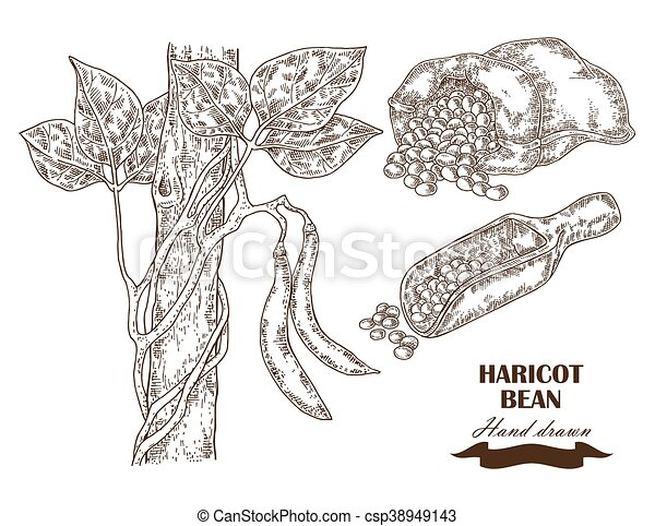Hand drawn haricot bean collection. Vector illustration in sketch style - csp38949143