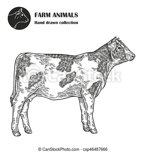 Hand Drawn Milk Cow Isolated On White Background Farm Animal Vintage Vector Illustration Engraved