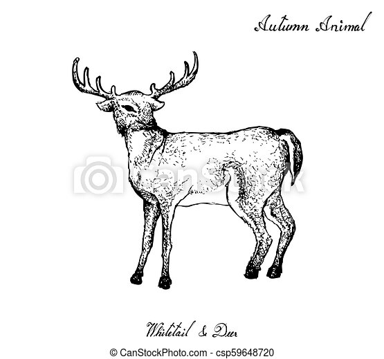 Hand Drawn Of Autumn Whitetail Deer On White Background