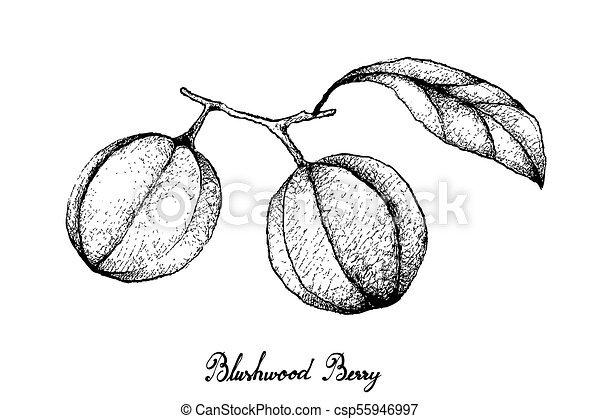 Hand Drawn of Blushwood Berries on White Background
