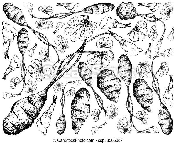 Hand Drawn of Fresh Mashua on White Background - csp53566087