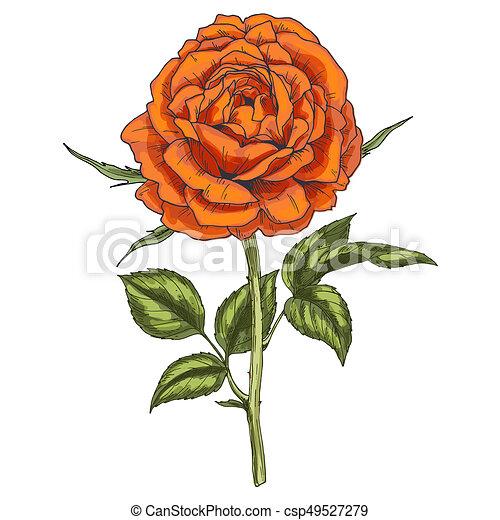 Hand Drawn Orange Rose Flower Isolated On White Background Botanical Illustration
