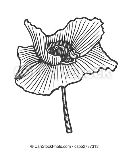 Hand drawn poppy flower floral engraving vector illustration black hand drawn poppy csp52737313 mightylinksfo