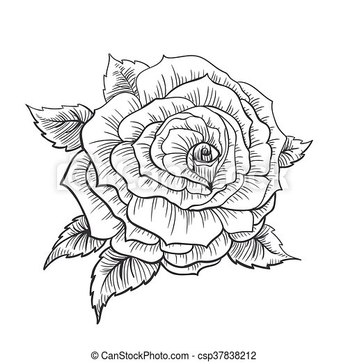 Vector illustration of a highliy detailted hand drawn rose vector