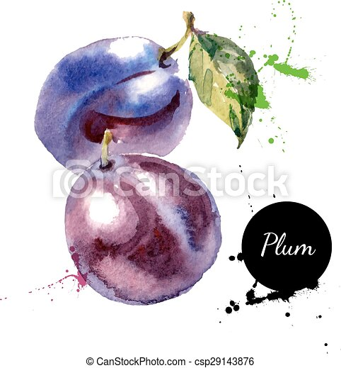 Hand drawn watercolor painting fruit plum on white background - csp29143876