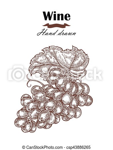 Hand drawn wine grapes vintage. Vector sketch - csp43886265