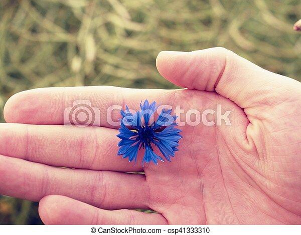 Hand hold blue cornflower in blossom. Green ripe oilseed field - csp41333310