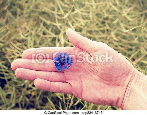 Hand hold blue cornflower in blossom. Green ripe oilseed field - csp83416747