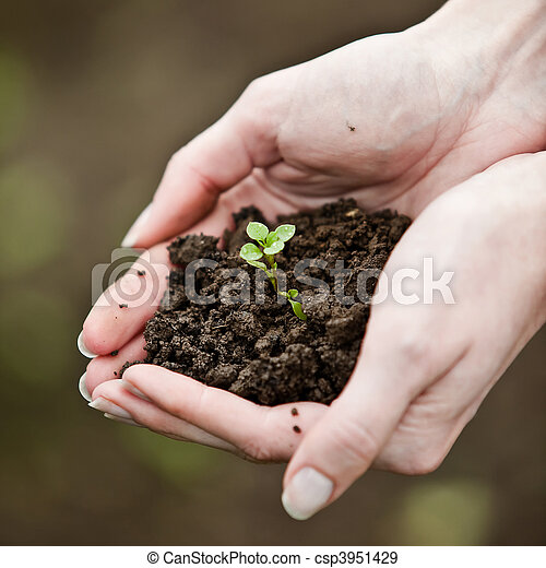 Hand holding a fresh young plant. Symbol of new life and environmental conservation. - csp3951429