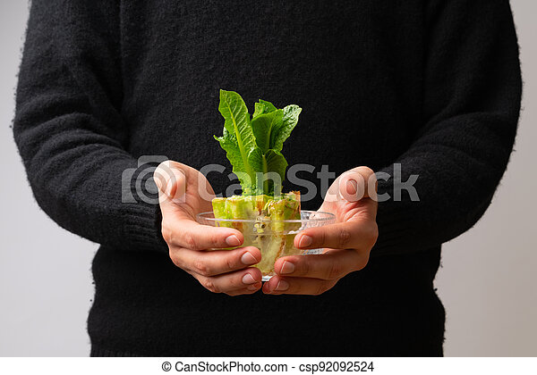 Hand holding glass bowl with regrowing chinese cabbage. Using vegetable scraps to grow organic vegetables at home. - csp92092524