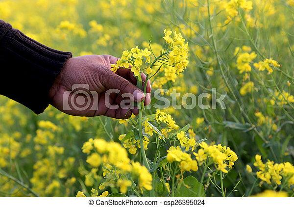 Hand holding mustard flower - csp26395024
