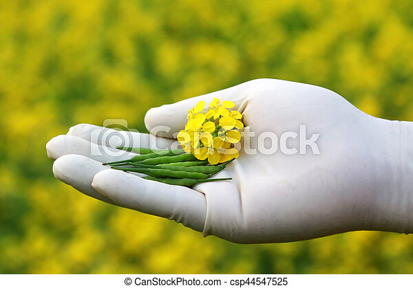Hand holding mustard flowers - csp44547525