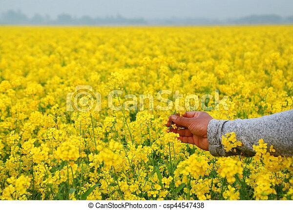 Hand holding mustard flowers - csp44547438