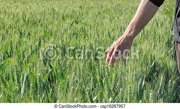 hand in a barley field - csp16287957