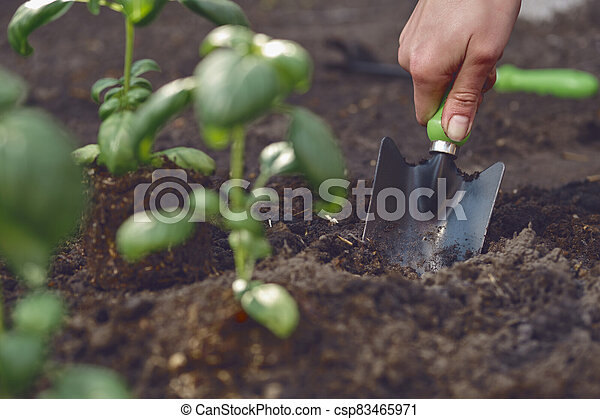 Hand of unrecognizable female is digging by small garden shovel near planted young green basil seedlings in soil. Sunlight, ground. Close-up - csp83465971