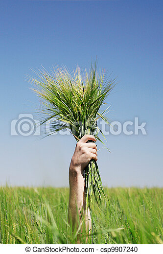 hands holding bundle of the  wheat  - csp9907240