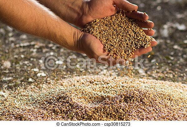 Hands of the grain - csp30815273
