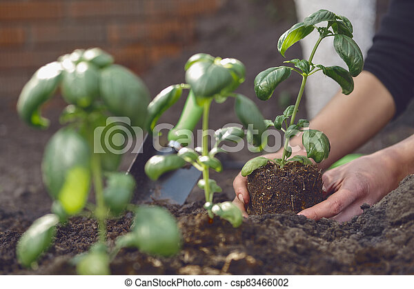 Hands of unrecognizable girl are planting young green basil seedlings or plants in fertilized ground. Sunlight, soil, small garden shovel. Close-up - csp83466002