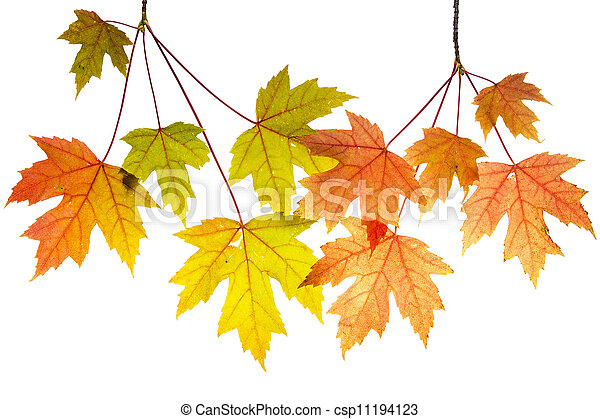 Hanging Maple Tree Branches with Leaves - csp11194123