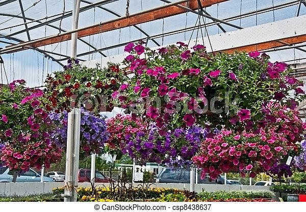Haning Flower Baskets in Greenhouse - csp8438637