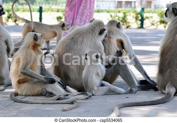 Hanuman Langurs - csp5534065