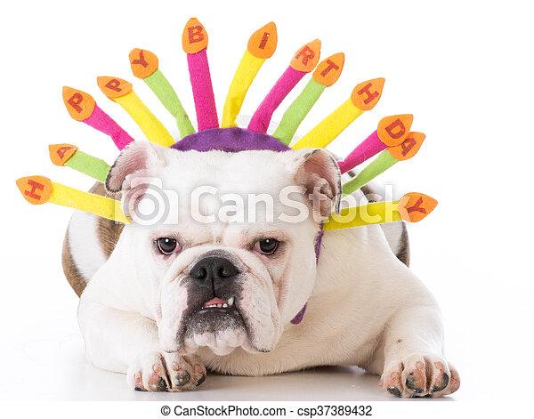 Happy birthday dog. Dog wearing happy birthday headband on white background.