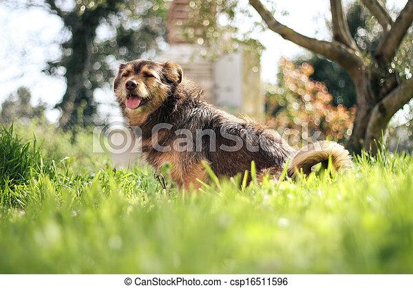 happy dog in green field - csp16511596