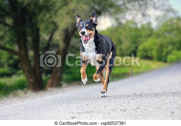 happy dog is running with flappy ears, Appenzeller Sennenhund - csp92537361