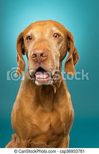 happy dog portrait is studio - csp36933781