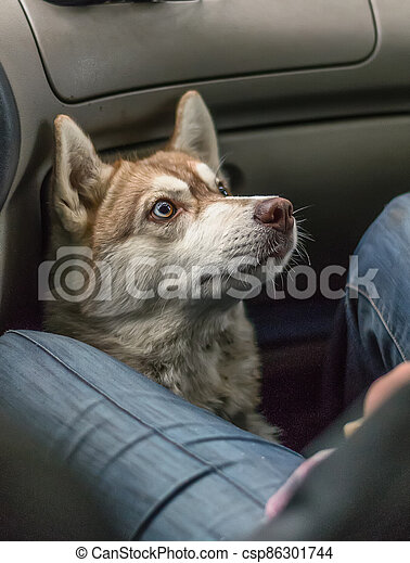 Happy dog traveling in the car - csp86301744