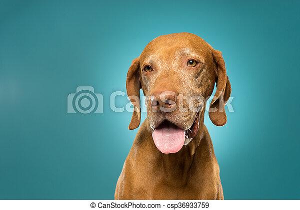 happy golden colour pure breed vizsla portrait - csp36933759