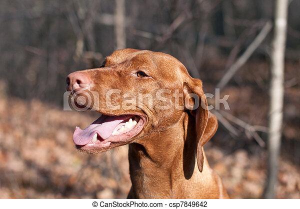 Happy Looking Vizsla Dog in the Woods in Autumn - csp7849642