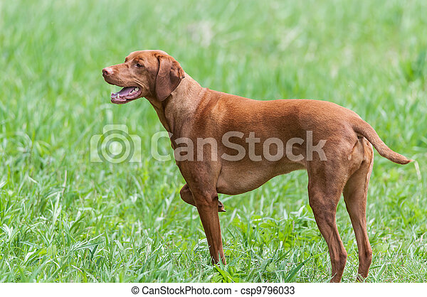 Happy Looking Vizsla Dog Standing in a Green Field - csp9796033