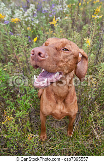 Happy Looking Vizsla Dog with Wild Flowers - csp7395557