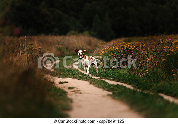 happy old pointer dog posing on a meadow in summer - csp78491125