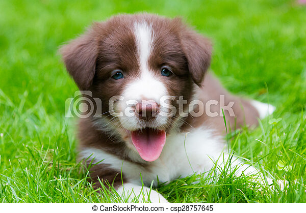 Happy Red Border Collie Puppy Laying On The Grass